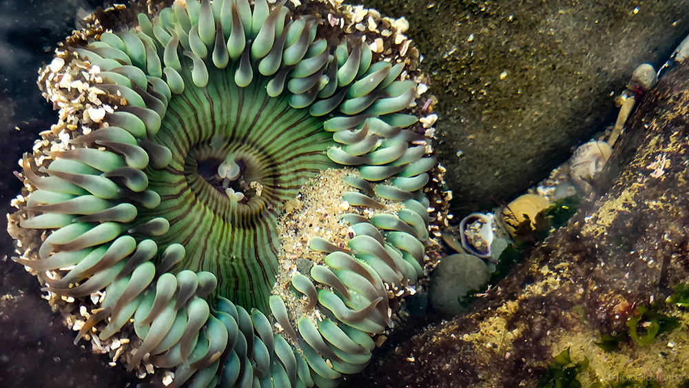 Sunset Cliffs San Diego Sea Anemone Ocean Beach California