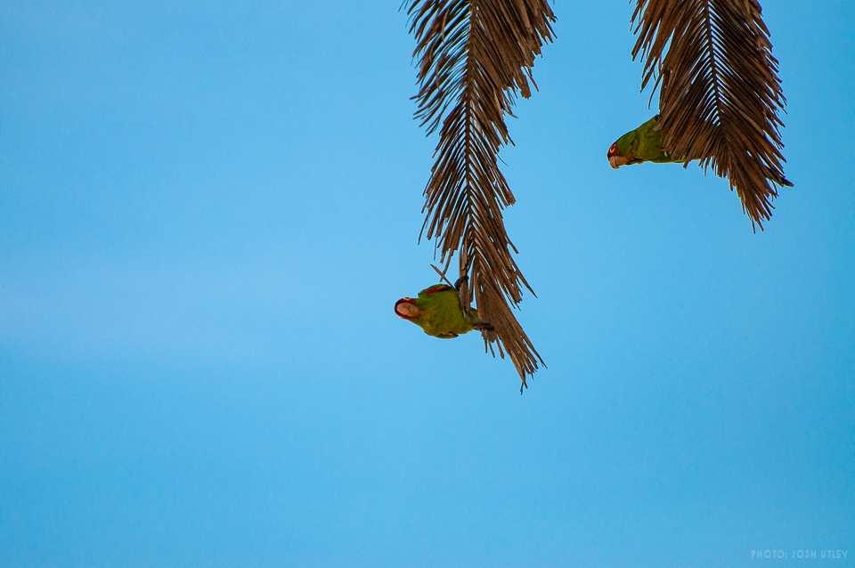 OB Parrot